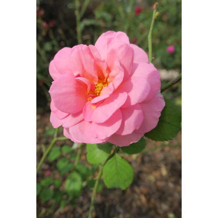 Rosa 'Ausmerchant' - Princess Alexandra of Kent shrub rose