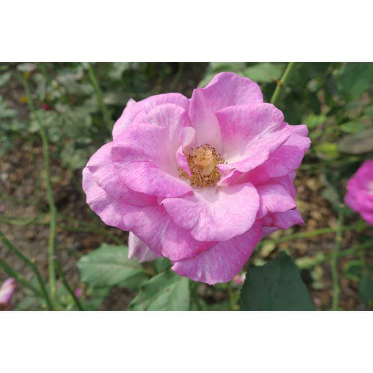 Rosa 'Dorient' - Melody Parfumee grandiflora rose