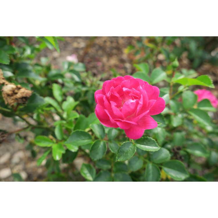 Rosa 'Baiief'