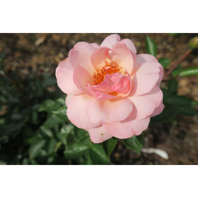 Rosa Baiypso Easy Elegance Calypso