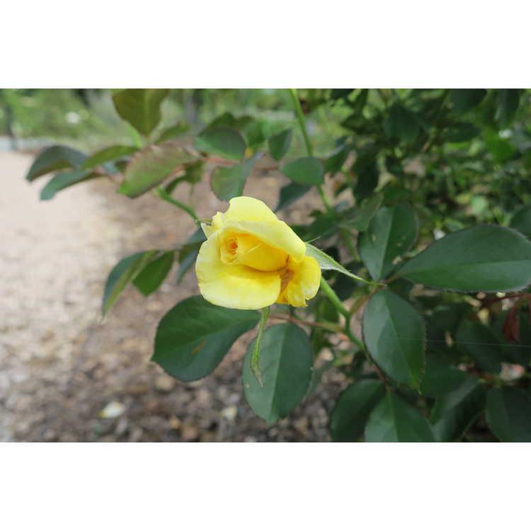Rosa 'Baiine'