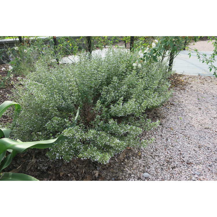 Clinopodium nepeta Montrose White