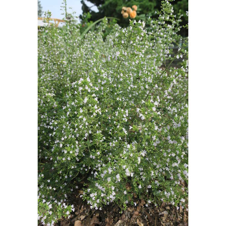 Clinopodium nepeta 'Montrose White'