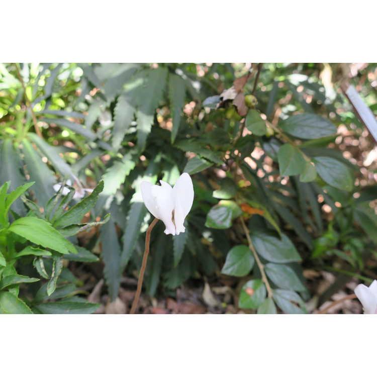Cyclamen hederifolium Album Group (silver leaf)