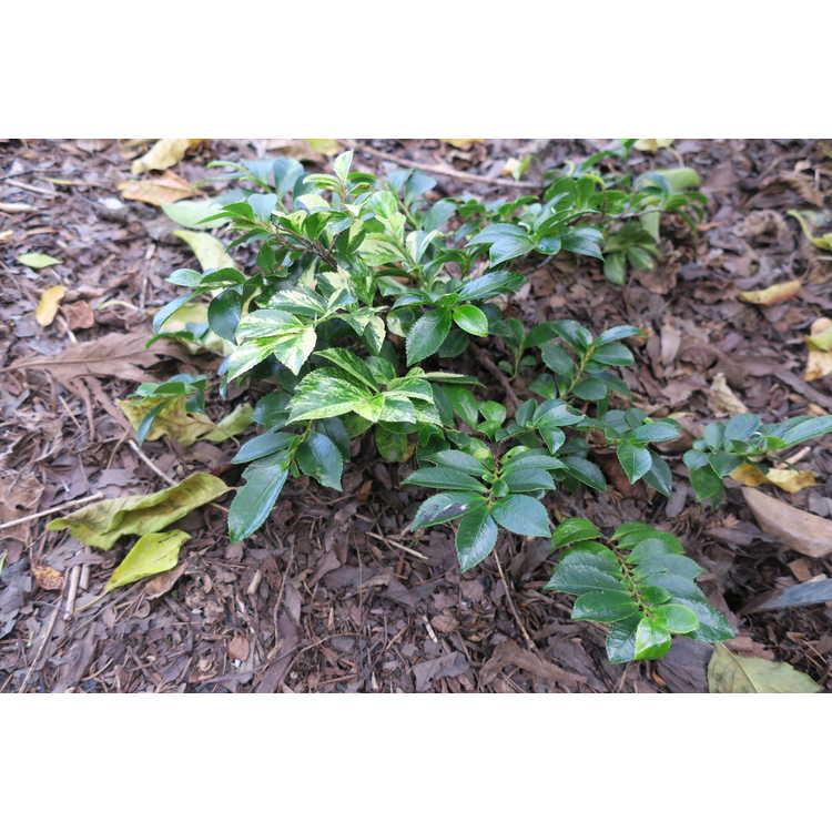 Eurya japonica 'Golden Spreader'