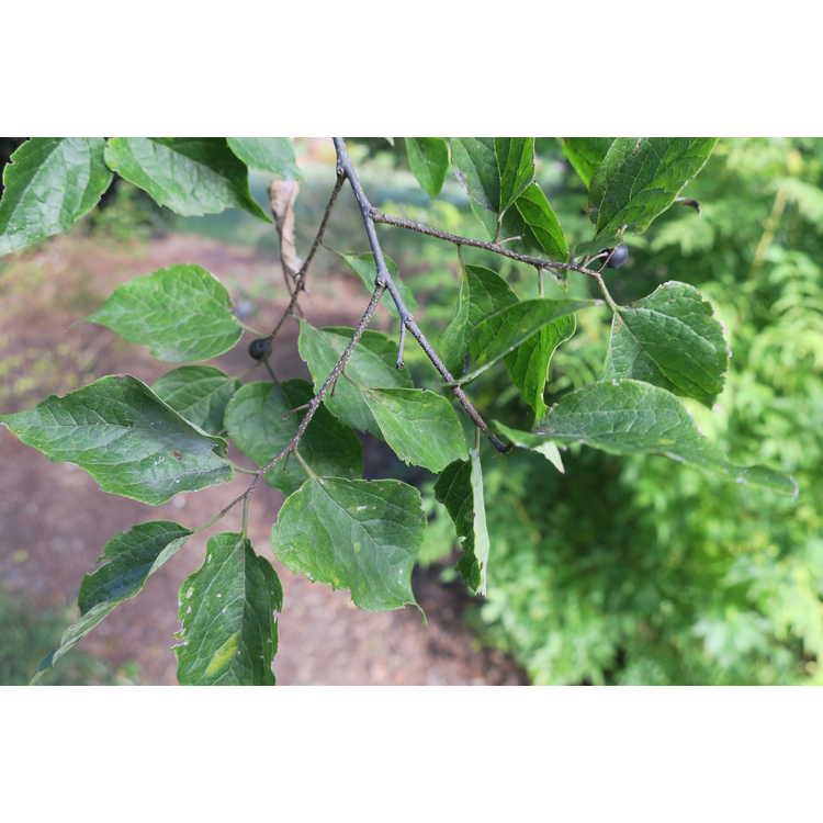 Celtis tenuifolia - dwarf hackberry