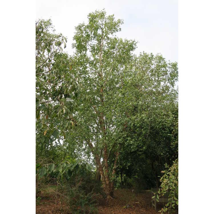 Betula nigra 'Studetec'