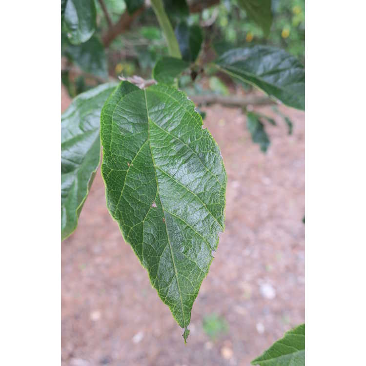 Sycopsis sinensis 'Variegata' - variegated evergreen ironwood