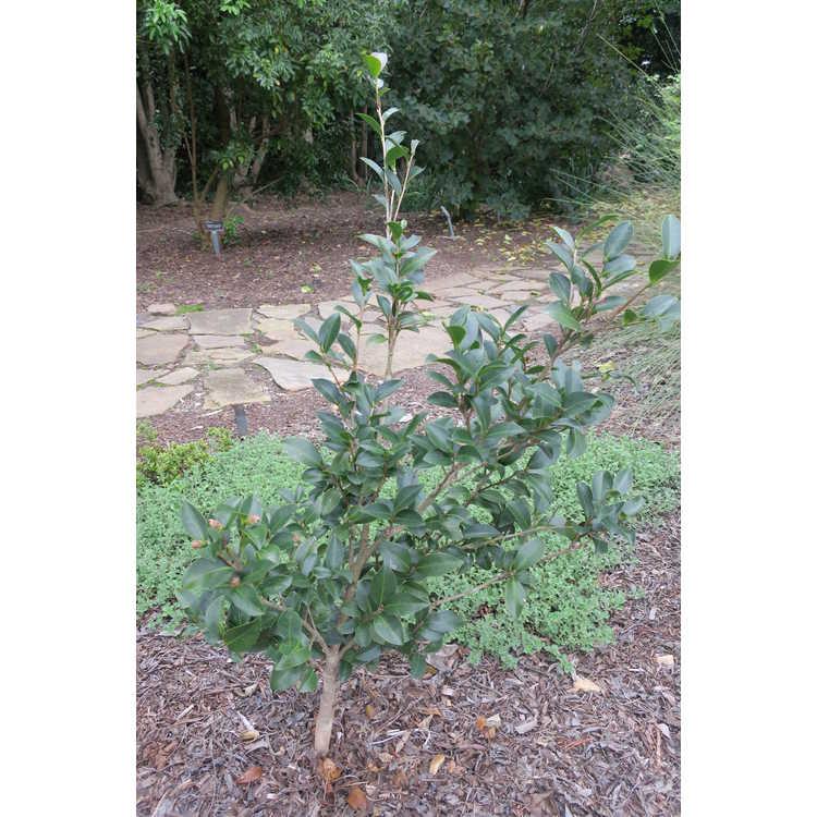 Camellia sasanqua 'Fuji-no-yuki'