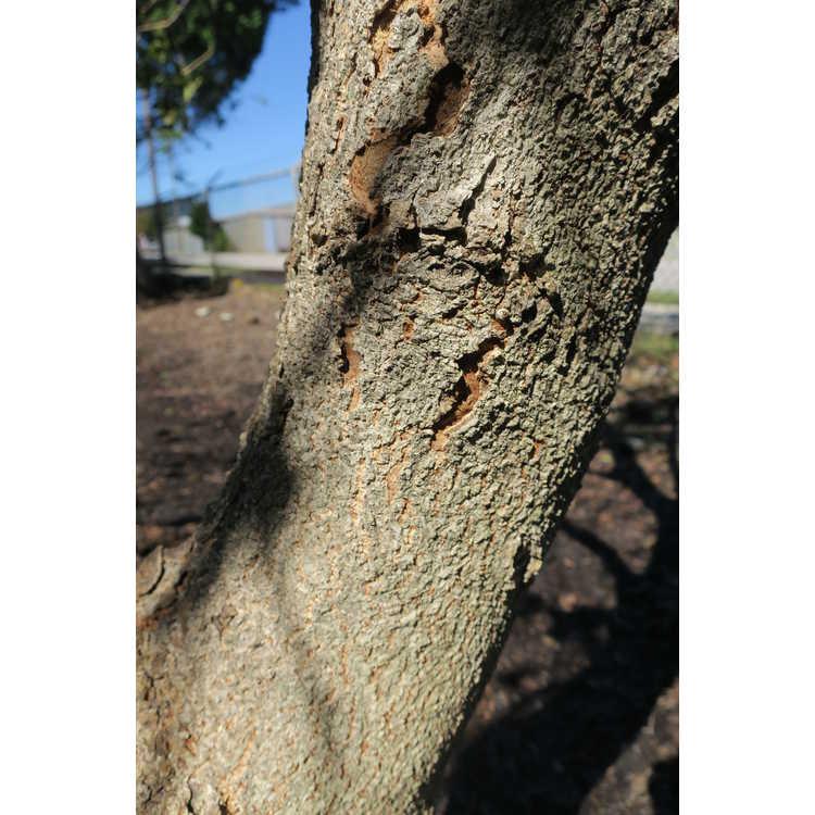 Aesculus glabra var. arguta - Texas buckeye
