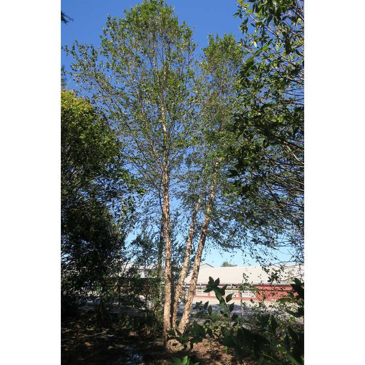 Betula nigra 'Whitt XXV'