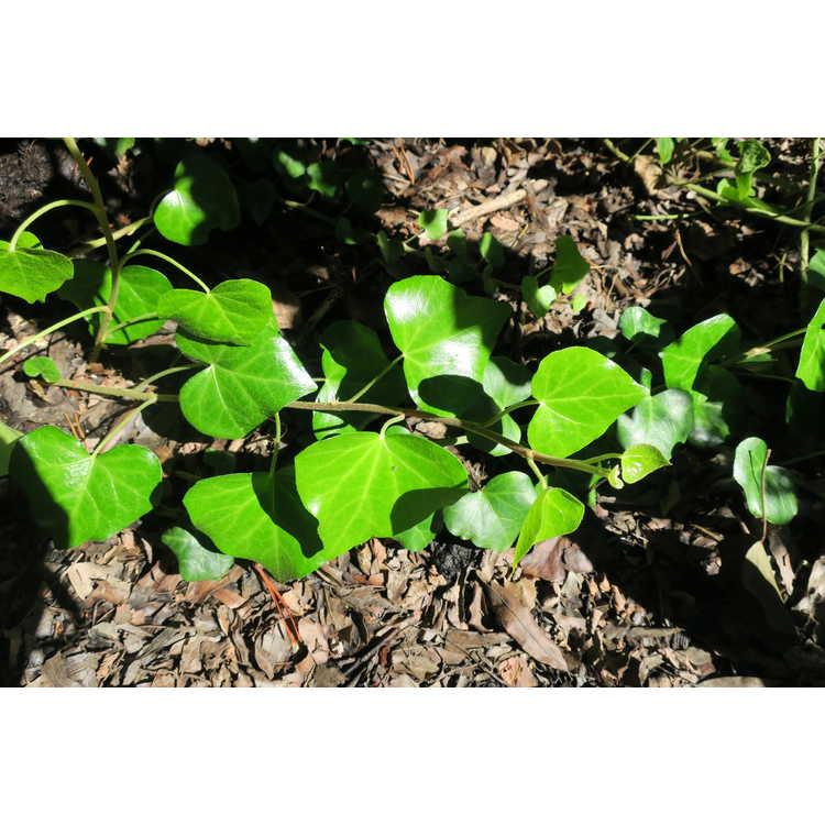 Hedera helix 'Arborescens Golden Form'