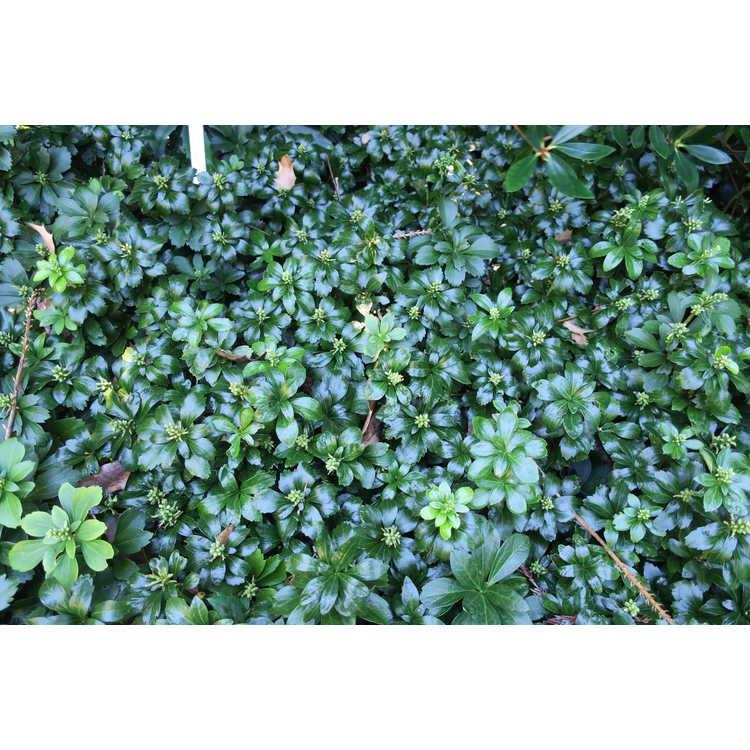 Pachysandra terminalis 'Green Sheen' - Japanese pachysandra