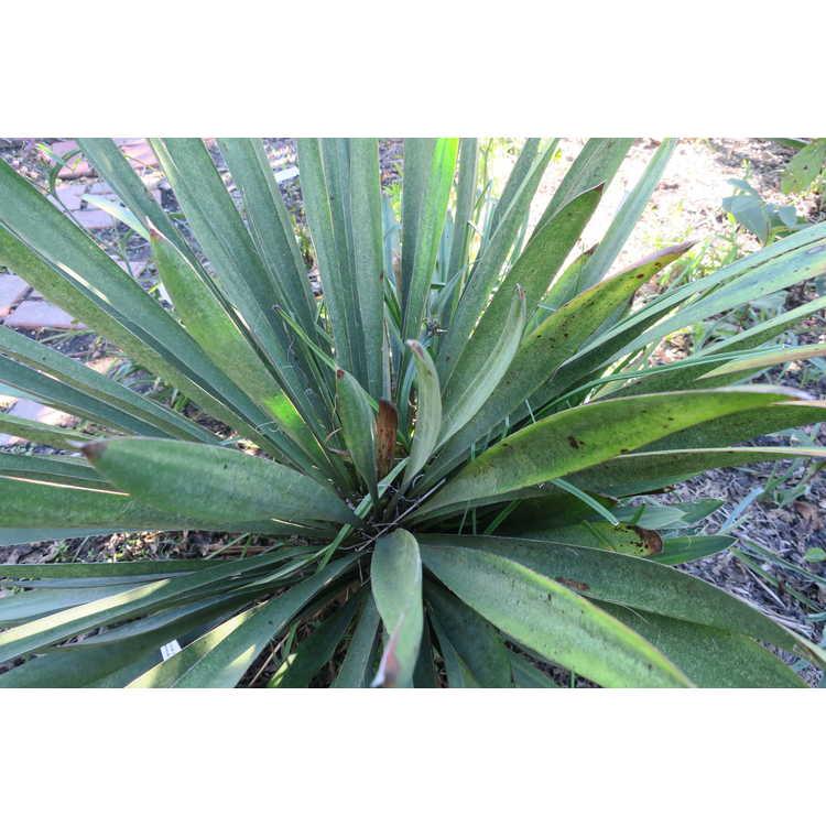 Yucca filamentosa (concave leaf)