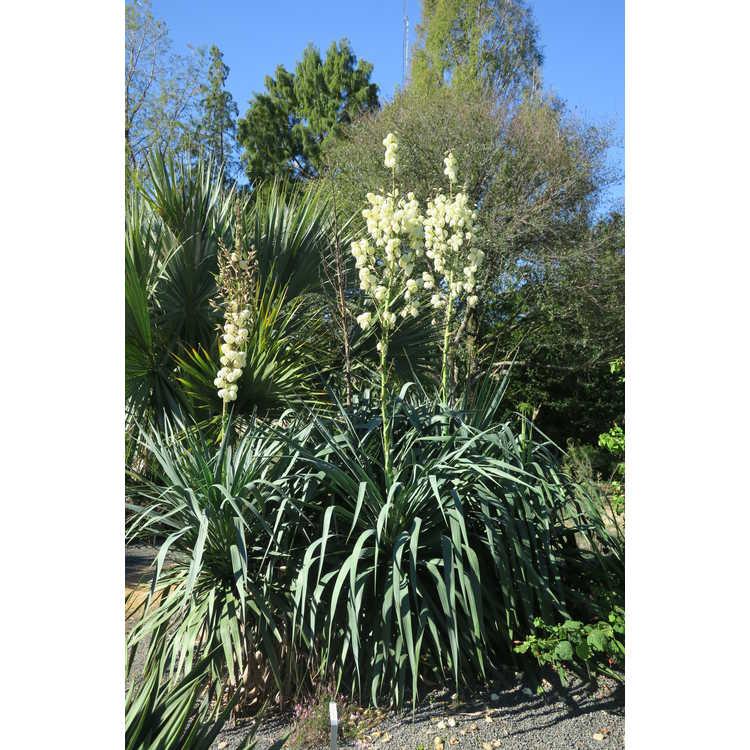 Yucca recurvifolia 'Cousin It'