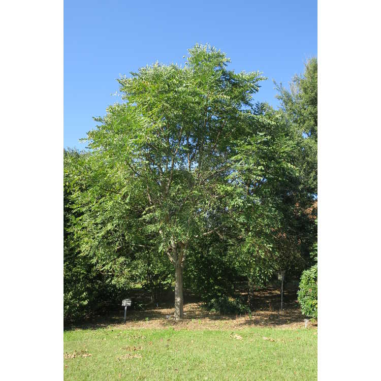 Gymnocladus dioica 'Kentucky Colonel' - Kentucky coffee tree