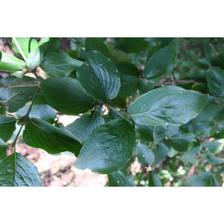 Cornus mas (yellow-fruited)
