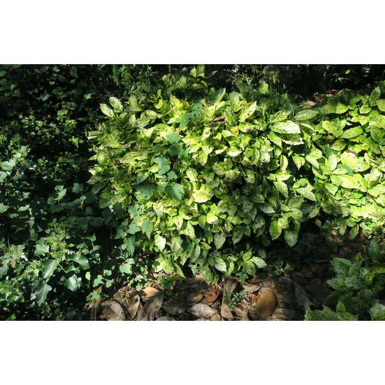 Aucuba japonica 'Cecil-Alice'