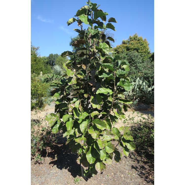 Magnolia 'Rose Marie' × M. 'Ian's Red'