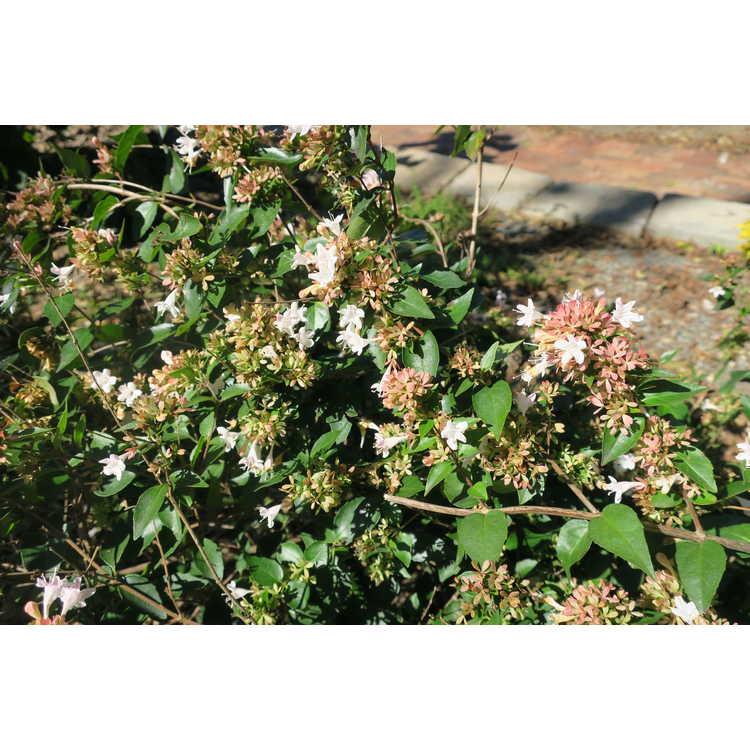 Abelia ×grandiflora 'Keiser' - Ruby Anniversary glossy abelia
