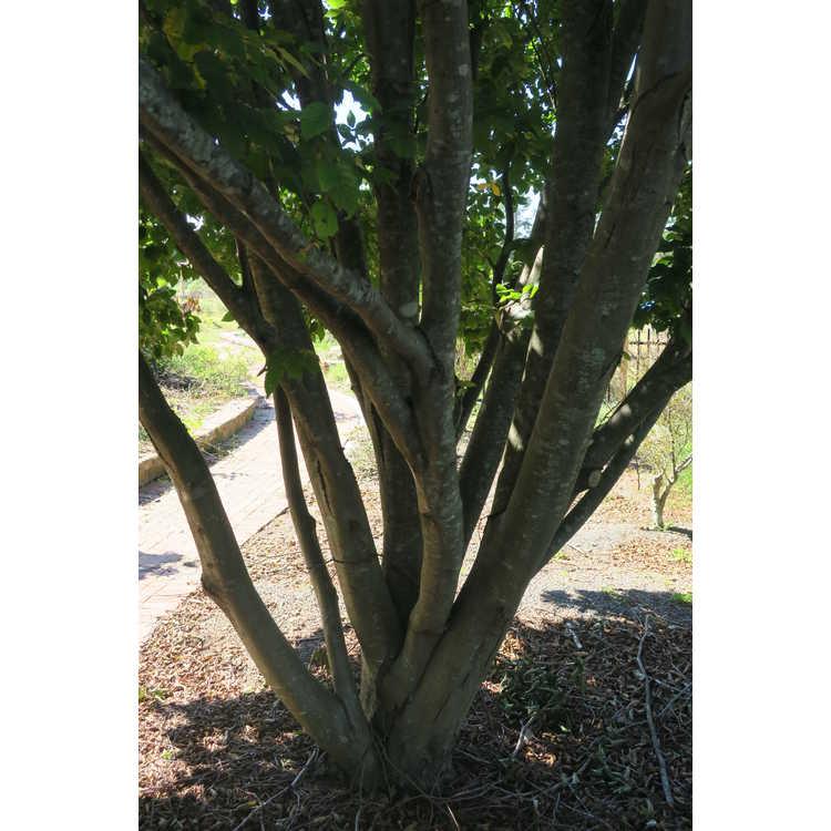 Carpinus betulus 'Frans Fontaine' - upright European hornbeam