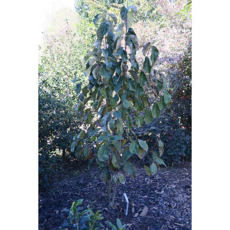 Magnolia 'Rose Marie' × M. 'Genie'