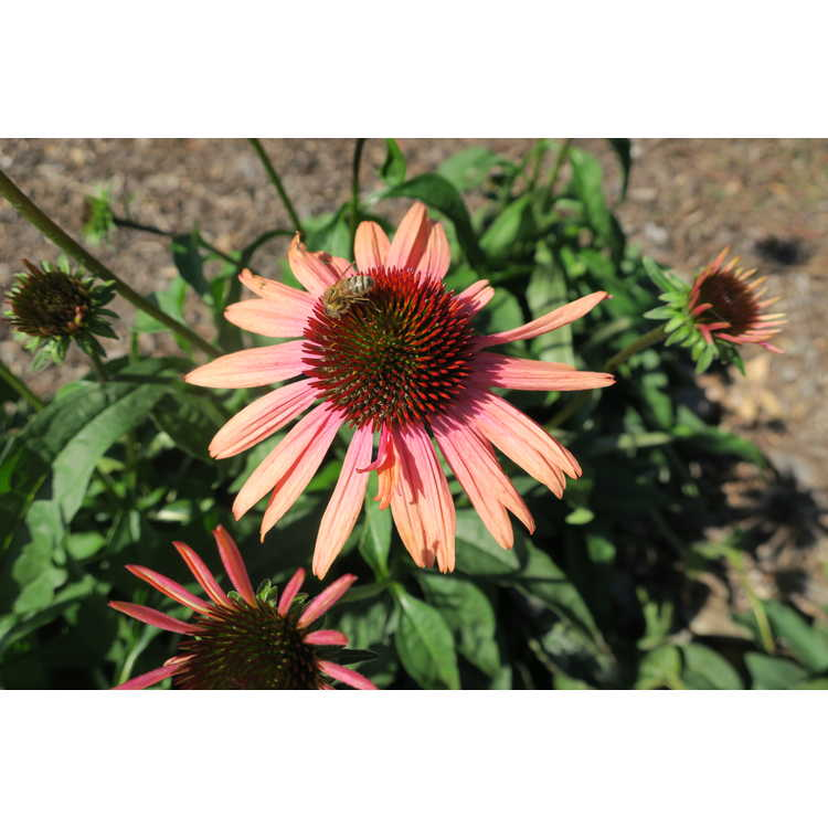 Echinacea 'Evan Saul' - Sundown Big Sky™ coneflower
