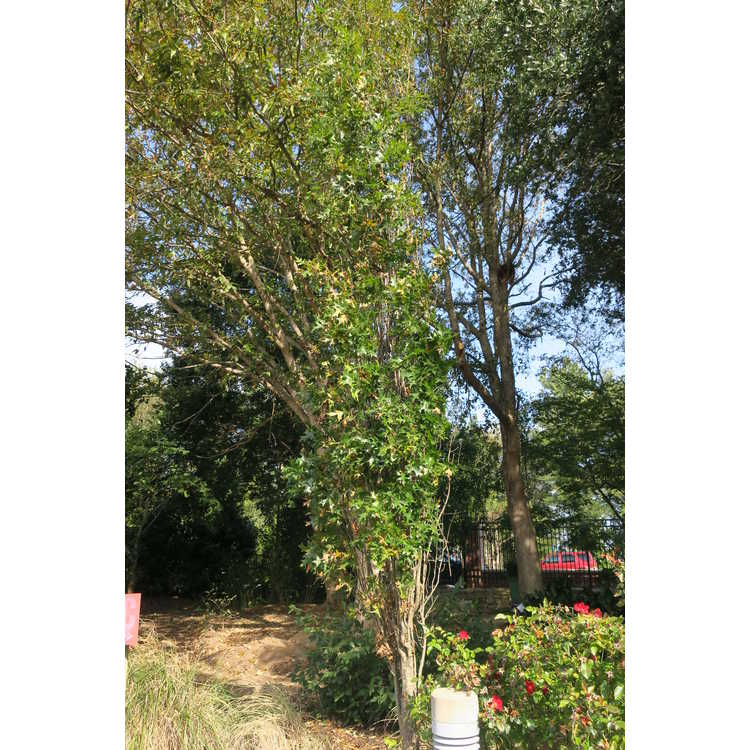 Quercus palustris 'Pringreen'