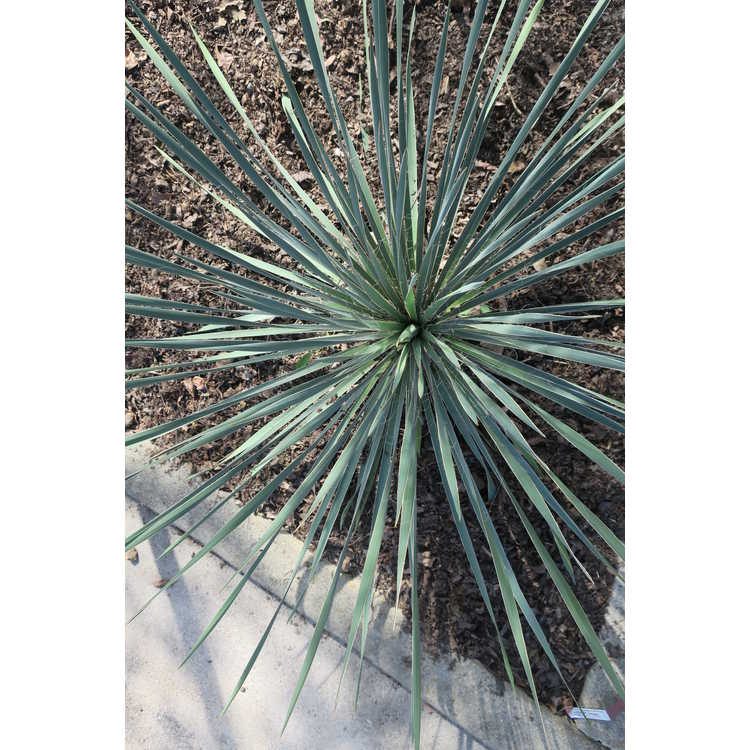 Yucca arkansana subsp. louisianensis