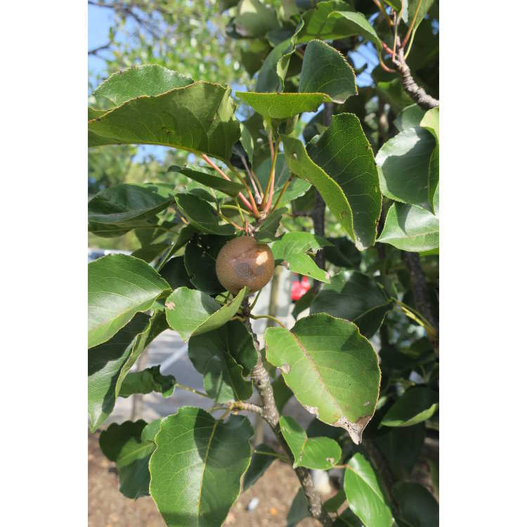 Pyrus 'Ncpx1' - Javelin fastigiate pear