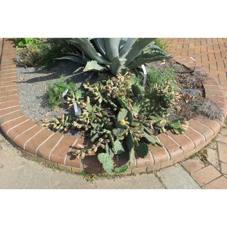 Opuntia humifusa 'Sunshine' - prickly pear cactus
