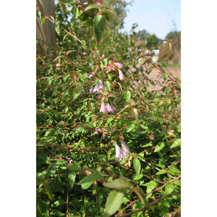 Abelia 'Lynn' - Pinky Bells™ large flowered dwarf abelia