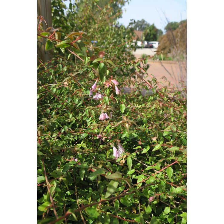 Abelia 'Lynn' - Pinky Bells large flowered dwarf abelia