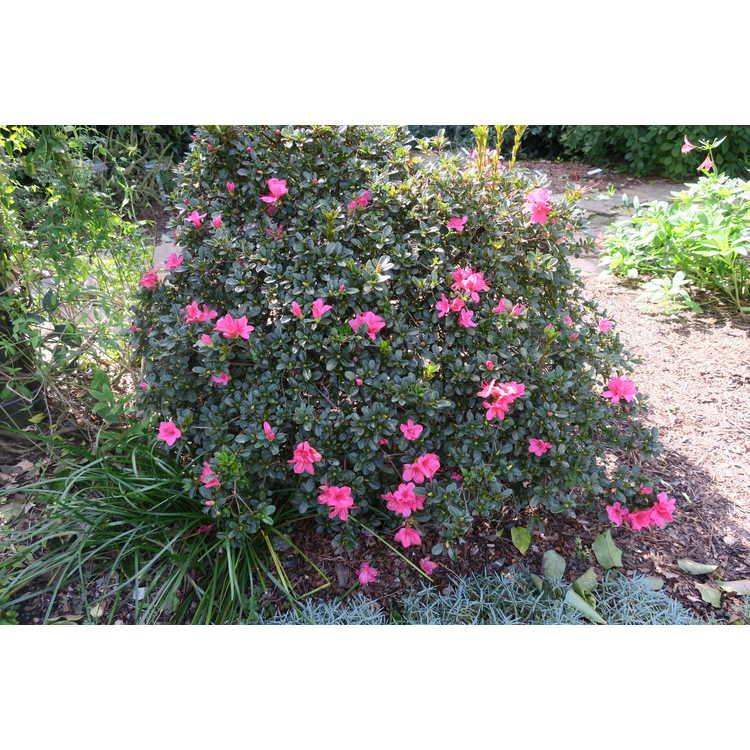 Rhododendron 'Conlef' - Autumn Cheer Encore Azalea®
