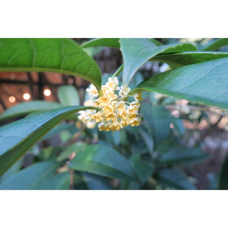 Osmanthus fragrans f. aurantiacus 'Live Oak Gold' - golden sweet-olive