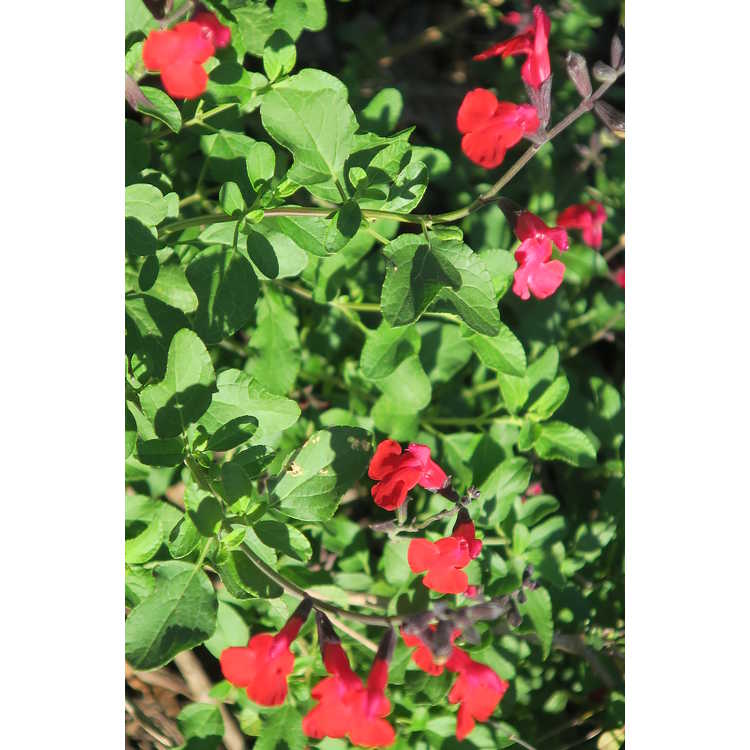 Salvia 'Cherry Chief'