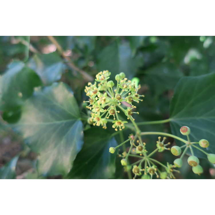 Hedera helix Treetop adult form