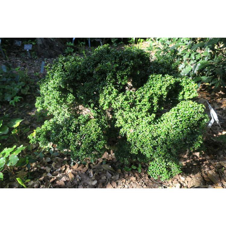Buxus sempervirens 'Kingsville' - common boxwood