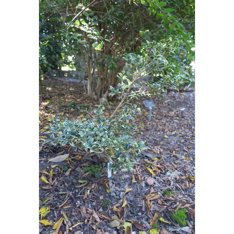 Osmanthus heterophyllus 'Hamakita Shirofu' - dwarf holly tea-olive