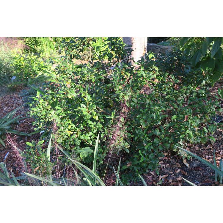 Viburnum ×globosum 'Jermyn's Globe' - globe viburnum
