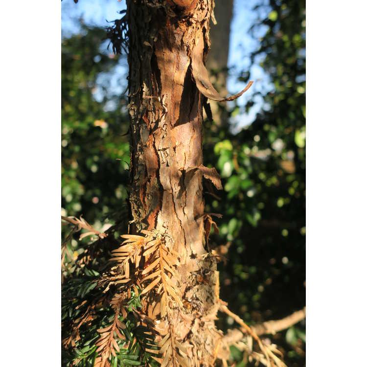 Sequoia sempervirens 'Henderson Blue'