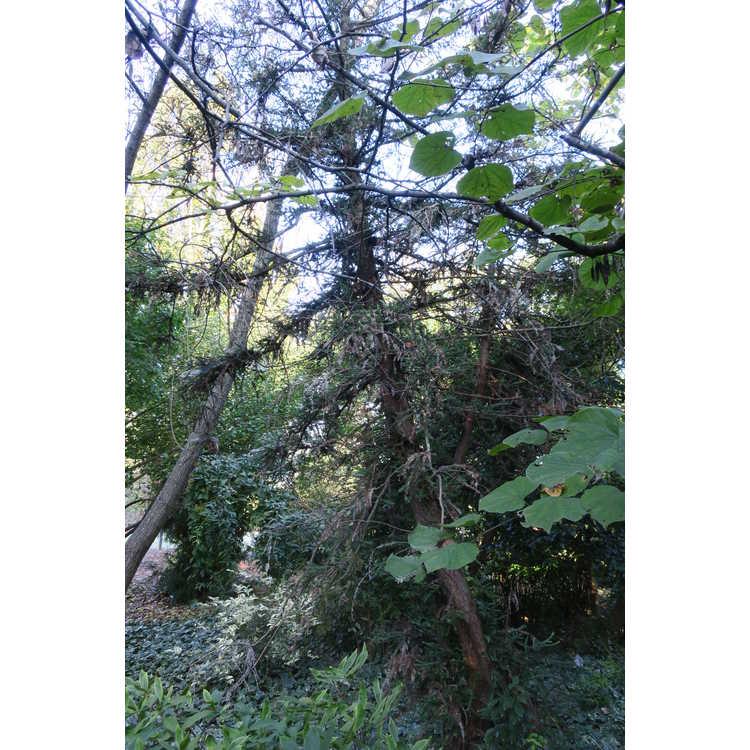 Sequoia sempervirens 'Adpressa'