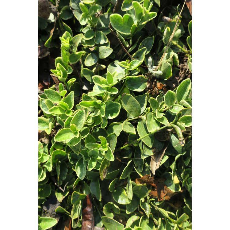 Vinca minor (variegated)