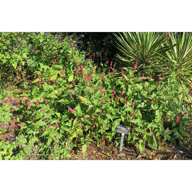 Persicaria amplexicaulis 'Firetail' - mountain fleece flower