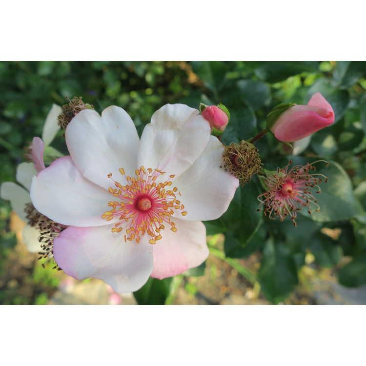Rosa 'Meiguimov' - The Charlatan shrub rose