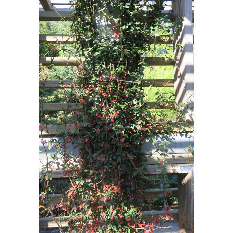 Trachelospermum asiaticum 'Asia Minor' - dwarf Asiatic jessamine