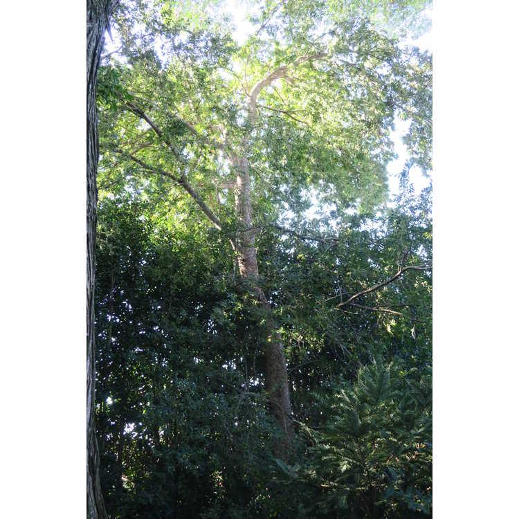 Ulmus parvifolia var. coreana
