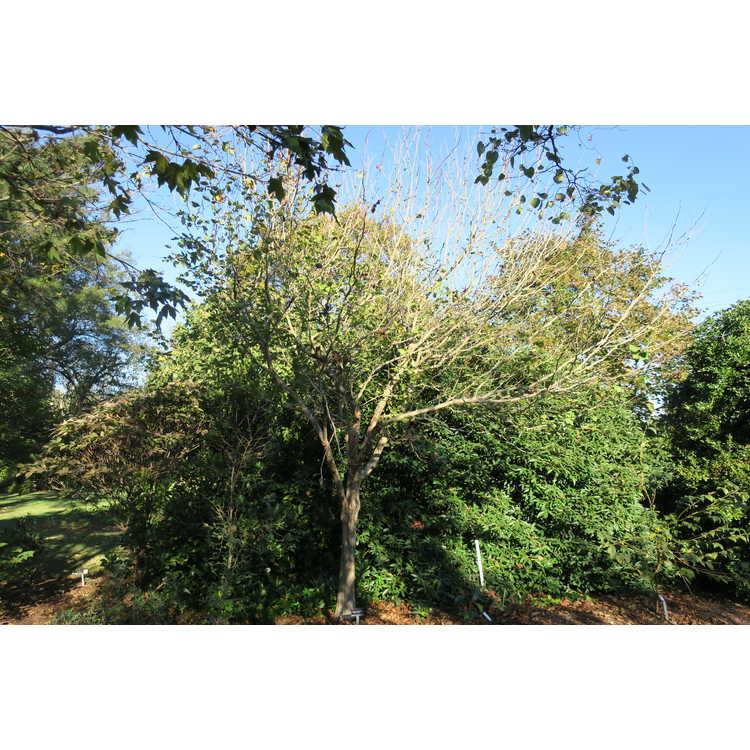 Crataegus columbiana - black hawthorn