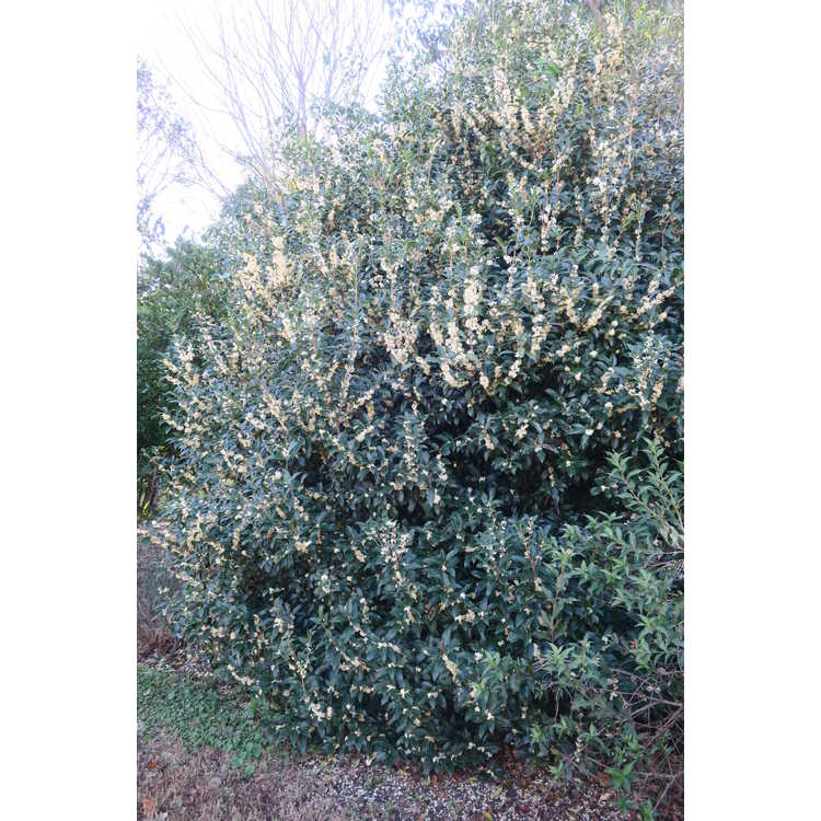 Osmanthus ×fortunei 'Fruitlandii' - Fortune's osmanthus