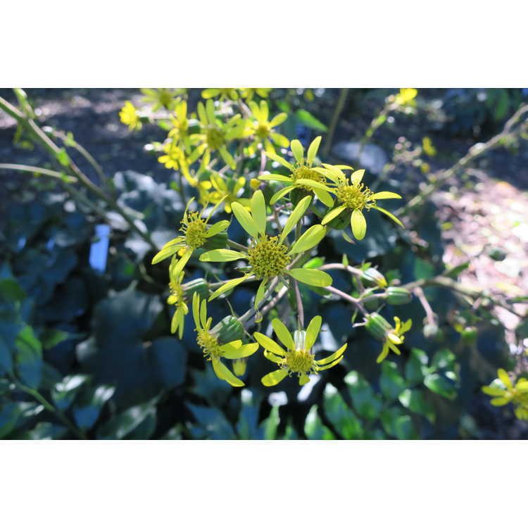 Farfugium japonicum - green leopard plant